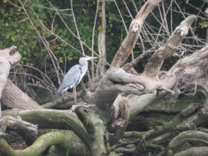 Heron on the river bank
