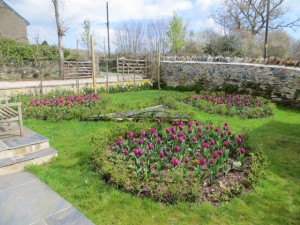 Tulips in the Celtic spiral Spring 2014