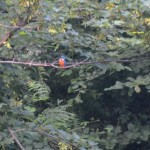My favourite bird on the river Dart