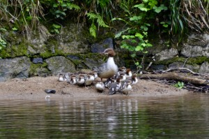 One of the magical moments of 2018 - female goosander with 17 chicks