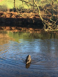 Selkie swims in the river Dart all year round!